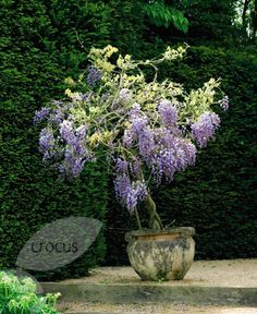 "Wisteria: Can be grown into a ""tree"" or used as beautiful roofing over an arbor."