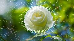 Футаж Что шепчут розы по утру HD