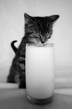 Milk drinking kitty