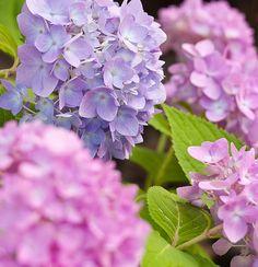 pink & lavender Hydrangeas SO PRETTY!