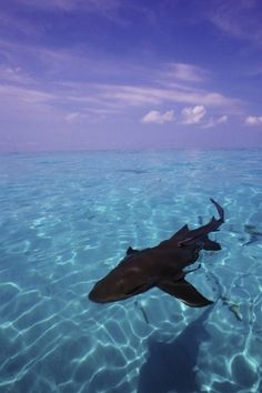 MAHO, St. Maarten, June 15, 2016 /PRNewswire-USNewswire/ -- Sharks are safer across the Caribbean Sea, with the...