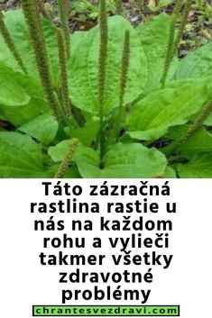 Táto zázračná rastlina rastie u nás na každom rohu a vylieči takmer všetky zdravotné problémy