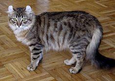 un #chat aux #oreilles retroussées : l'#AmericanCurl !