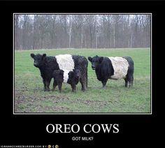 Belted Galloways..... Oreo cows. Got Milk?
