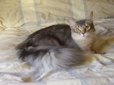 Silver Somalian cat.. when we get our house :)