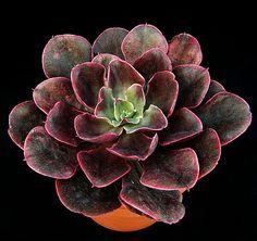 Más tamaños   Echeveria 'Painted Frills'   Flickr: ¡Intercambio de fotos!