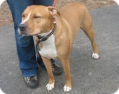 Pictures of Snickers a Pit Bull Terrier/Labrador Retriever Mix for adoption in Port Jervis, NY who needs a loving home.