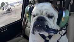 Dogs are paw-sitively the best co-pilots around! Larry from Group 3 Aviation showing us how it's done #ILoveVNY