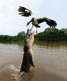 Alligator after a goose (?) Wonder who won?