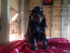 Pedigree KC Registered Cocker Spaniel Puppies in Thornhill, Dumfriesshire born 14/09/14