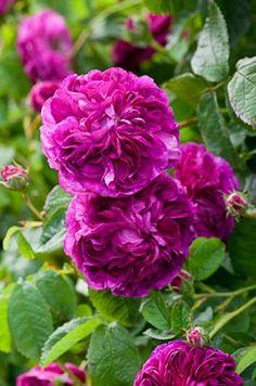 ~Charles de Mills - roses - Sarah Raven