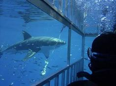 Cage diving in South Africa gets you up close and personal with the Ocean's giant sharks.