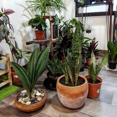 Repotted some of my sansevierias namely the variegated masoniana, the aubrytiana and propagated my moonshines by division cuttings. Snake Plant Images, Garden Plants, Indoor Plants, Sansevieria Plant, Air Cleaning Plants, Plant Information, Office Plants, Ornamental Plants, Exotic Plants