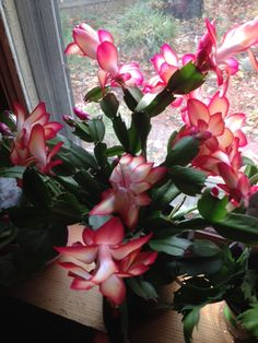 Best 12 Christmas cactus blooms in winter – SkillOfKing. Cacti And Succulents, Planting Succulents, Cactus Plants, Planting Flowers, Christmas Cactus Care, Christmas Plants, Orchid Cactus, Cactus Flower, Amazing Flowers