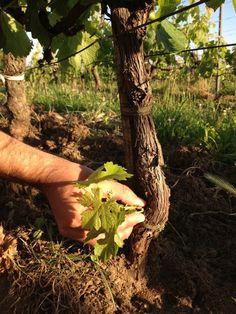 Fin de l'épamprage ce matin dans les vignes de Clos Dubreuil. L'épamprage consiste à débarrasser un cep de vigne des pampres (un rameau non fructifère qui pousse sur la souche ou sur le porte-greffe) afin de favoriser la maturation des branches fruitières porteuses de raisin.  End of 'Epamprage' this morning in the Clos Dubreuil vines. The 'epamprage' technique is to remove 'suckers' (a non-bearing branch that grows on the vine or rootstock) to improve fruit bearing branches maturation.