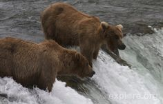 Enjoy our collection of highlights and exclusive footage from the Brown Bear & Salmon Cams at Brooks Camp in Katmai National Park, Alaska where Coastal Brown Bears feed on the world's largest Sockeye Salmon runs.