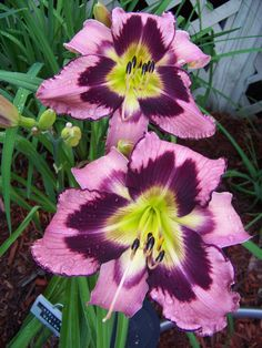 Daylily (Hemerocallis 'Intelligent Design')  Foliage type:Semi-evergreen  Scape height:36 inches  Bloom size:6 inches  Bloom time:Early midseason  Plant Traits:Rebloom/Diurnal  Early Morning Opener (EMO)  Bud Count: 10-15