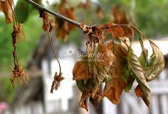 Заболевания вишни и борьба с ними