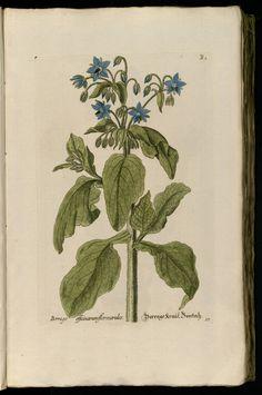 Borage   Knorr, G.W., Thesaurus rei herbariae hortensisque universalis, vol. 1: t. 17 [B1] (1750-1772)