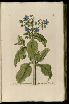 Borage | Knorr, G.W., Thesaurus rei herbariae hortensisque universalis, vol. 1: t. 17 [B1] (1750-1772)