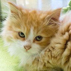 remedios pulgas en gato