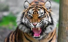 tiger wallpaper - Results For Yahoo Image Search Results