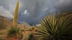 File photo of a Puya, 'queen of the Andes' blooming in Altiplano, Cordillera Blanca Mountain Range in Peru in 2008.