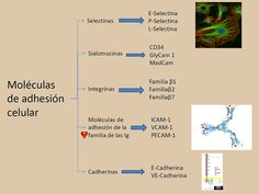 Temas selectos de Inmunología. Moléculas de adhesión celular Physical Therapy, Biology, Physics, Health, Fitness, Internal Medicine, Lab, Science, School