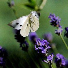 New Finition (adobe élément 14) The Star : unusual flight of a butterfly 7 (c)(h)  by Olao-Olavia / Okaio Créations  by fz 1000 336.000 photos 2015 new finition 2017