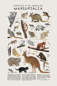 Animal Drawings Creatures of the infraclass Marsupialia, Art print of an illustration by Kelsey Oseid. This poster chronicles 31 marsupial mammals from the infraclass Marsupialia. Printed in Minneapolis on acid free 80 Art And Illustration, Animal Illustrations, Illustrations Posters, Animals And Pets, Cute Animals, Strange Animals, Australian Animals, Animal Species, Endangered Species