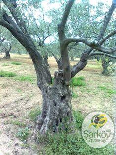 Zeytin ve zeytinyağı tarihte insanların başlıca gıda ve gelir kaynağı olmuştur. Şu anda dünyada 40 yakın ülkede zeytin yetiştiriciliği yapılmaktadır. Türkiye, İtalya Yunanistan Fransa, Fas, Tunus, Cezayir, İspanya başlıca zeytin yetiştiriciliği yapan ülkelerdir.