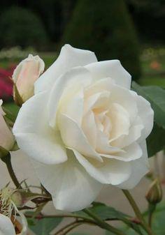 white romance favorite roses pinterest rose white roses and