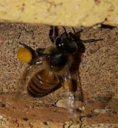 Bee-utiful Bee Insects, Bee, Pictures, Photos, Honey Bees, Bees, Grimm