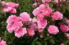 Floribunda-Rose 'Bayernlad'
