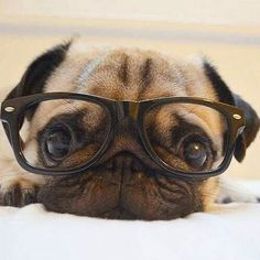 "Get terrific tips on ""pug puppies"". They are offered for you on our web site. Dog Training Books, Baby Pugs, Cute Dogs And Puppies, Doggies, Cute Little Animals, Pug Love, Dog Pictures, Funny Animals, Pets"