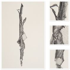 Bark Strip from a Eucalypt | Sharon Field | Botanical Artist Study , Inspiration for Botanical Sketchbooks for Art Students at CAPI::: Create Art Portfolio Ideas milliande.com, Art School Portfolio Work, , Botanical, Flowers, Plants, Leaves,Stem Seed, Nature, Sketching, Herbarium