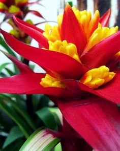 The Bromeliaceae (the bromeliads) are a family of monocot flowering plants of around 3,170 species native mainly to the tropical Americas