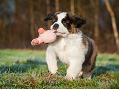 Welcoming a new puppy home can be difficult. Here are some early development and training tips for your month old puppy. St Bernard Weight, Puppy Growth Chart, Very Small Dogs, St Bernard Puppy, Bluetick Coonhound, Norwich Terrier, Havanese Puppies, Dog Shaming, Large Dog Breeds