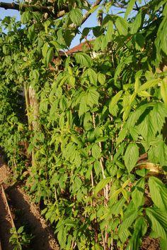 plantas de framboesas