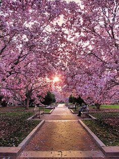 Cherry Blossom Walk, Washington D.If you get the opportunity to visit DC., go during the Cherry Blossom Festival, it's glorious all along the Mall area. Delicate flowers that fly from the trees even with the slightest breeze is a sight to see. What A Wonderful World, Beautiful World, Beautiful Places, Amazing Places, Trees Beautiful, Beautiful Park, Wonderful Places, Jolie Photo, Oh The Places You'll Go