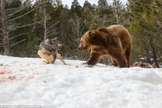 WARNING GRAPHIC CONTENT: The shots taken by British man Tom Littlejohns in Montana, show the pack of wolves enjoying their prey until they are interrupted by a grizzly bear. Wolves Fighting, Montana, Angry Wolf, Tooth And Claw, Wild Wolf, Le Diner, Close Up Pictures, Big Bear, Animals Images