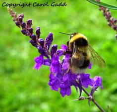 Bumble bee on flower photographic print, nature, bee, British by ByGaddArtandDesign on Etsy