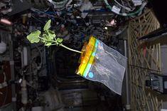 Diario del calabacín Rose desde el espacio (cosas de la NASA)  El sentido del humor ha llevado al astronauta Don Pettit a crear un blog en el que da voz a un calabacín que crece en condiciones de ingravidez.   El calabacín, de nombre Rose, forma parte de uno de los experimentos con plantas que se realizan en la Estación Espacial Internacional.   En este experimento se quiere evaluar la eficacia de los cultivos aeropónicos y la respuesta de las plantas a la ausencia de gravedad…