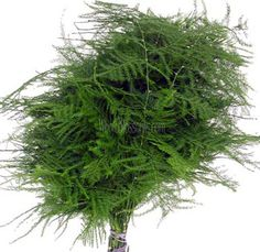 Plumosa Fern- 139.99 for 15 bunches, appx. 120 stems @ whole blossoms