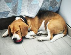 Beagle With Glasses Lemon Beagle Dog Golden Beagle Puppy Bea. Boxer Beagle Mix, Beagle Funny, Funny Dogs, Cute Beagles, Adoptable Beagle, Dog Pin, Labrador Retriever Dog, Bull Terrier Dog, Sleeping Dogs