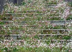erigeron on steps
