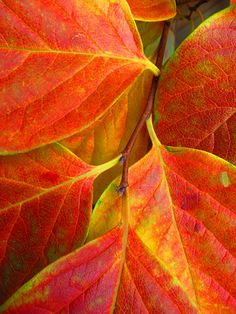Persimmon Tree Leaves, via Flickr.