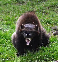 attacking badger - Google Search