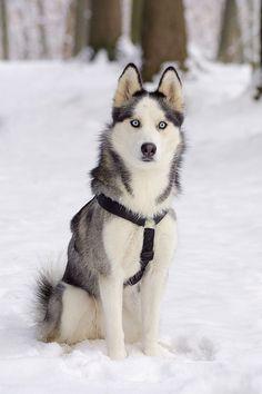Siberian Husky #dog #husky #animal