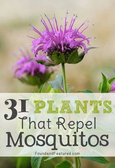 Easy to grow plants to repel mosquitos #Pest_Control